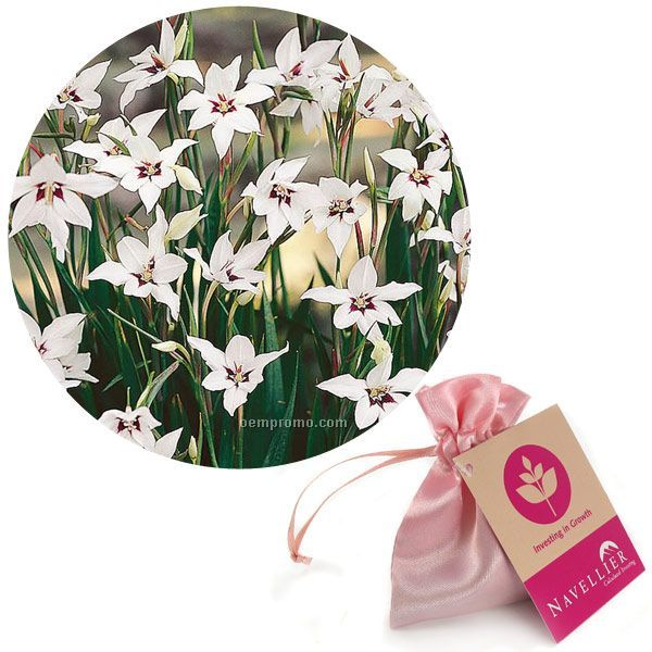 Eight (8) Orchid Glad Bulbs In A Satin Bag With 4-color Hang Tag