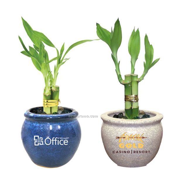 Lucky Bamboo Plant In 6 Ceramic Pot 3 Shoots China Wholesale