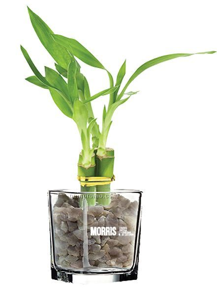Lucky Bamboo Plant In Glass Container 6""