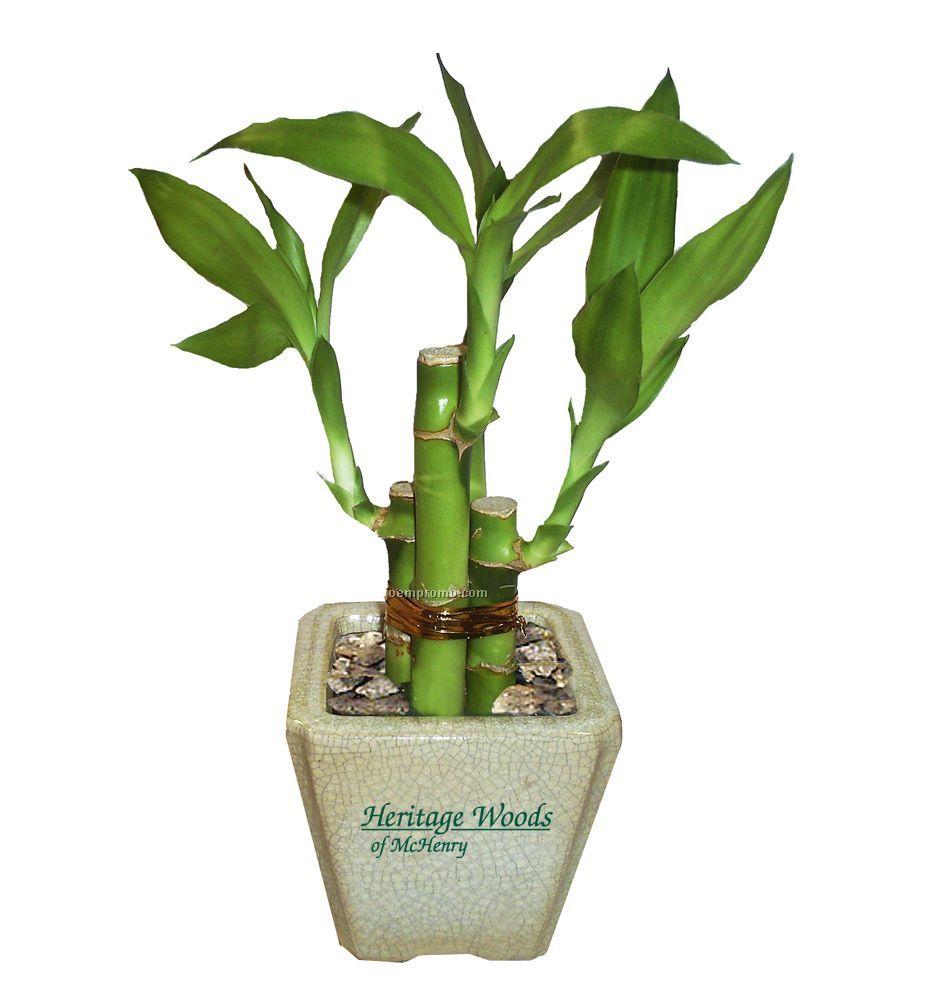 4 Shoot Lucky Bamboo Plant In Ceramic Pot China Wholesale 4 Shoot