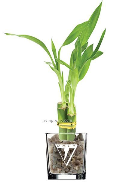 Lucky Bamboo Plant In 4 Glass Vase 3 Shootschina Wholesale Lucky