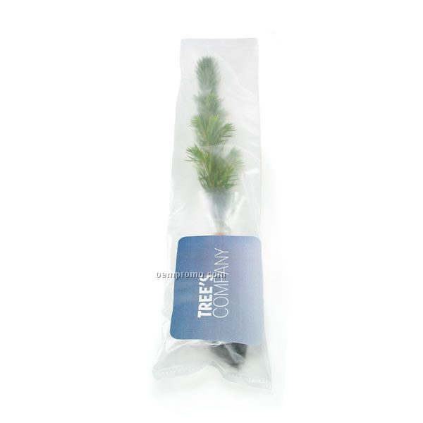 Blue Spruce Evergreen Tree Seedling In A Poly Bag With Custom 4 Color Label