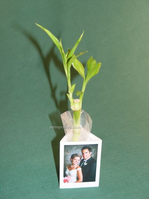 Wedding Favor Lucky Bamboo Plant W/ 3 Sided Container,China ...