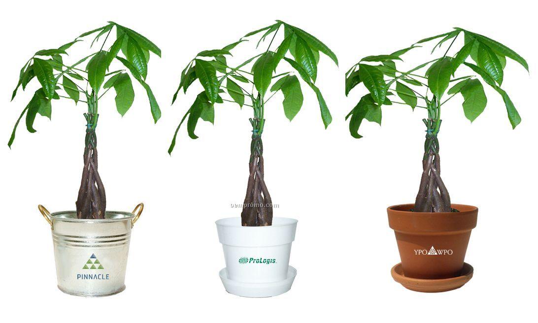 Money Tree / Pachira Plant In Pot