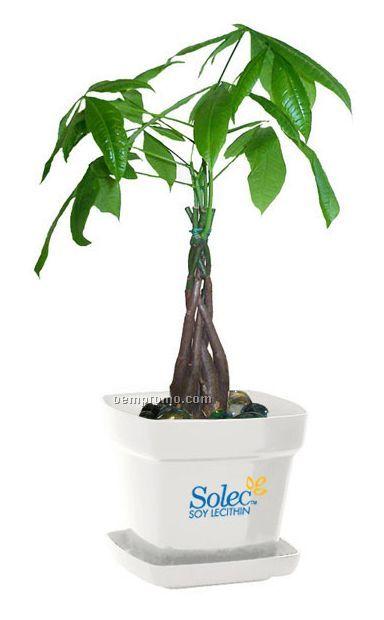 Money Tree Pachira Plant In Square Plastic Pot Amp Marbles