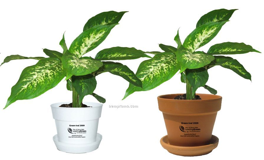 Tropical Plant / Dieffenbachia Compacta In Pot