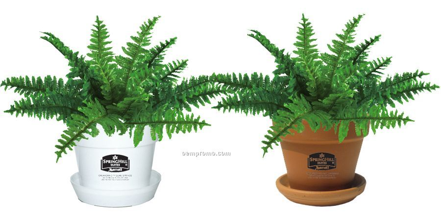 Tropical Plant Fern In Pot China Wholesale Tropical Plant Fern