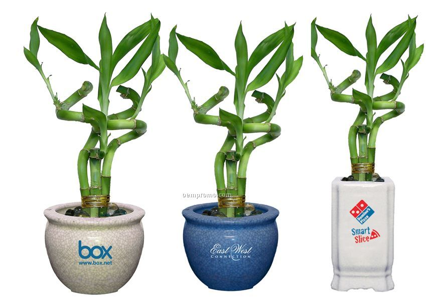 """Spiral Lucky Bamboo Plant In 6"""" Ceramic Pot With Marbles"""