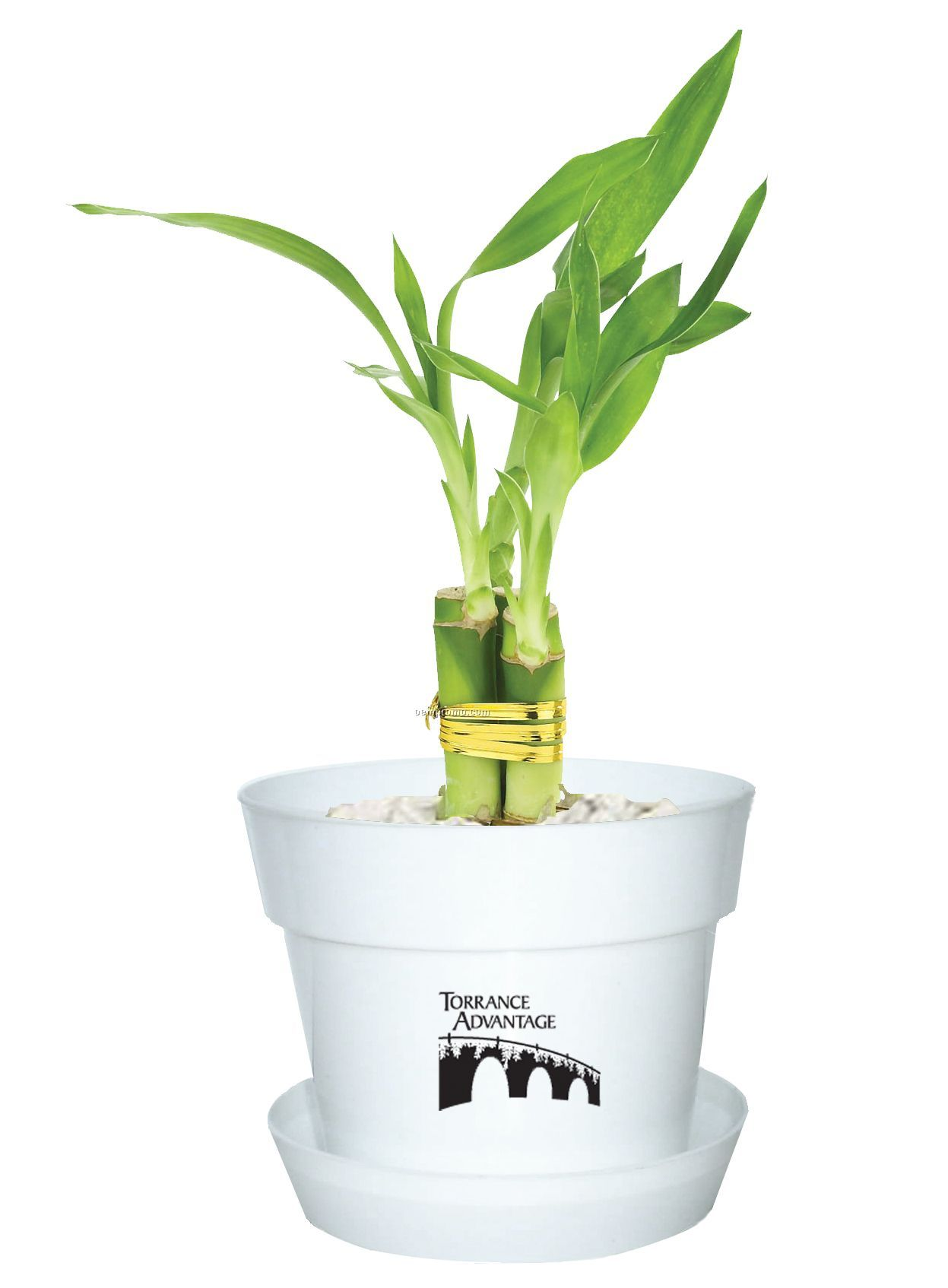 Lucky Bamboo In Plastic Pot 3 Shoot China Wholesale