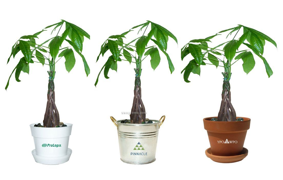 Money Tree / Pachira Plant In Pot & Marbles