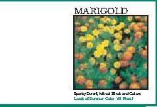 Impression Series Marigold Flower Seeds