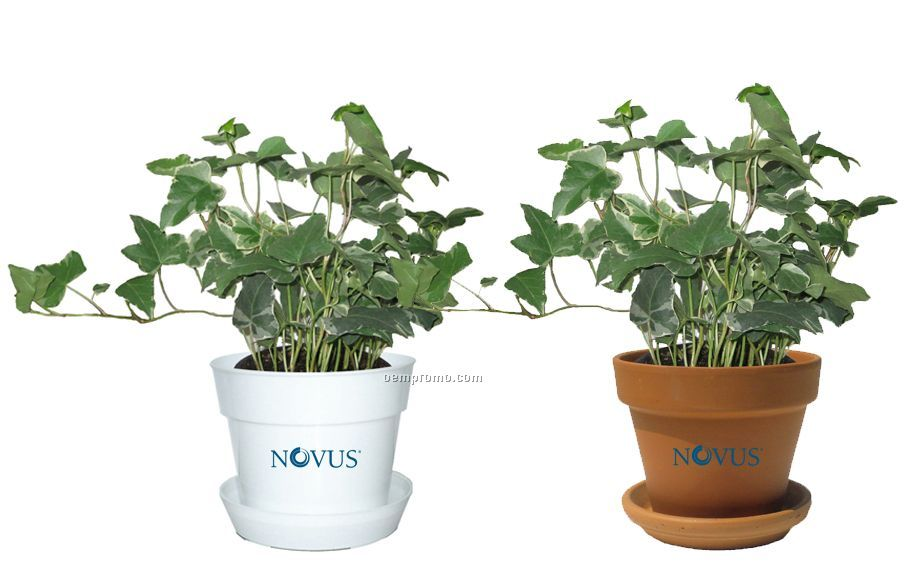 Tropical Plant / Ivy Hedera In Pot