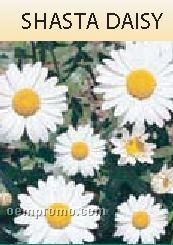 Standard Series Shasta Daisy Seeds - 1 Color