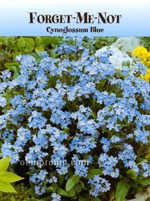 Standard Series Forget Me Not Seeds - 1 Color