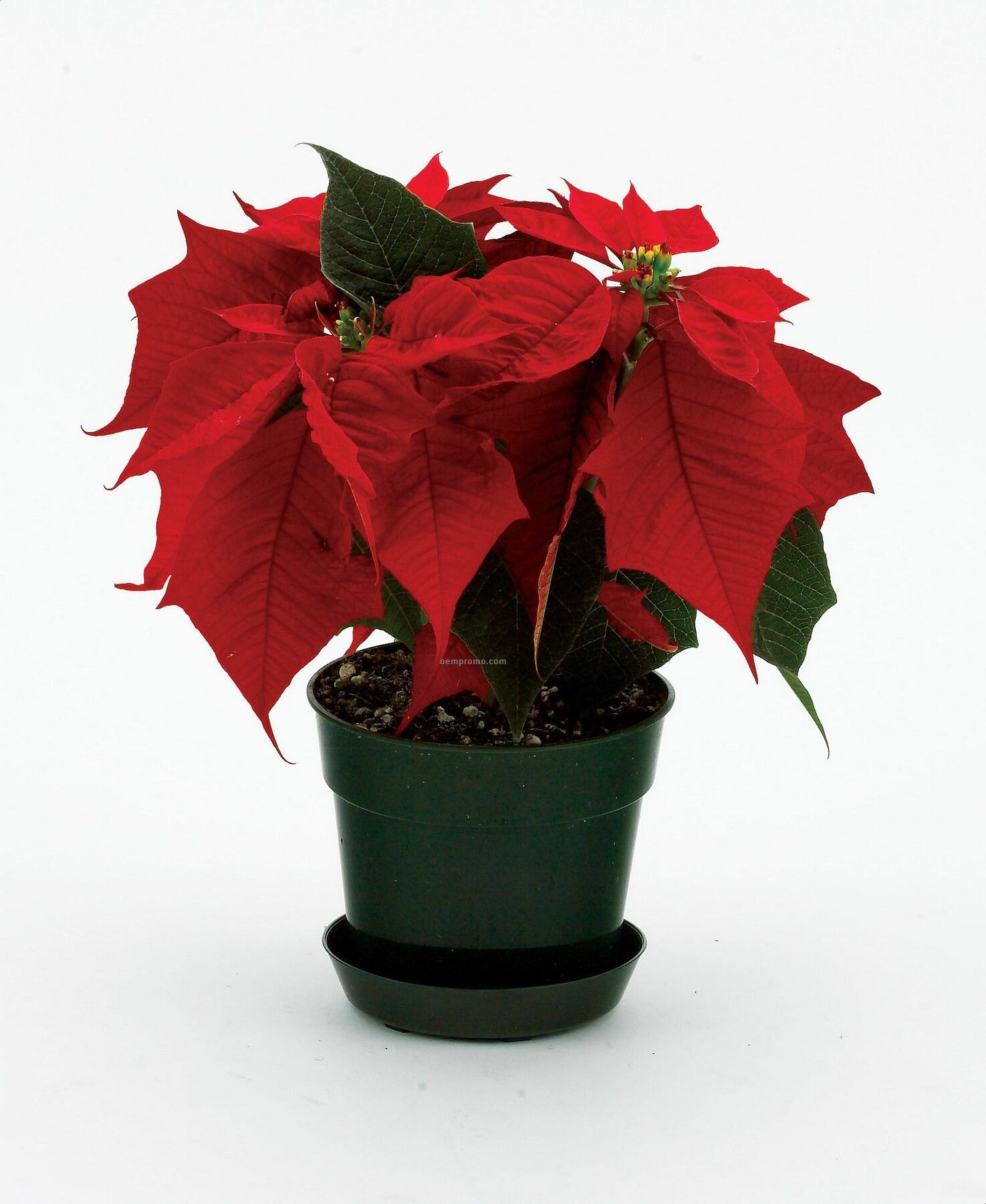 how to grow poinsettia in a pot