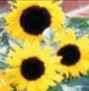Sunflower Junior Standard Logo Planter Kits (1 Color)