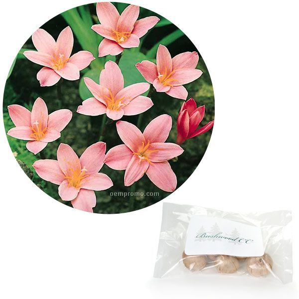 Five (5) Fairy Lily Bulbs In Poly Bag W/4-color Label