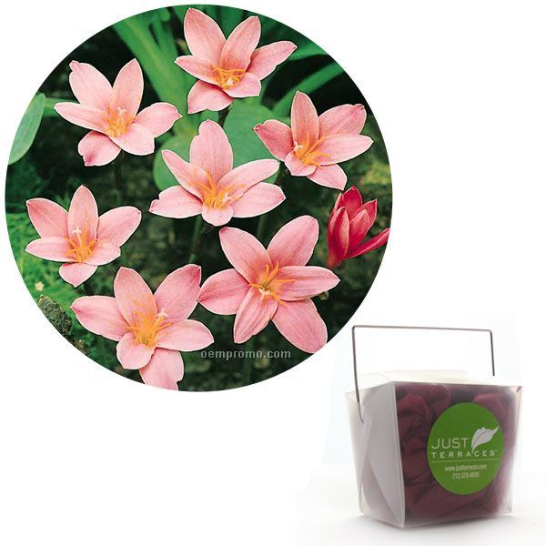 Five (5) Fairy Lily Bulbs In Take-out Box With Tissue & 4-color Label