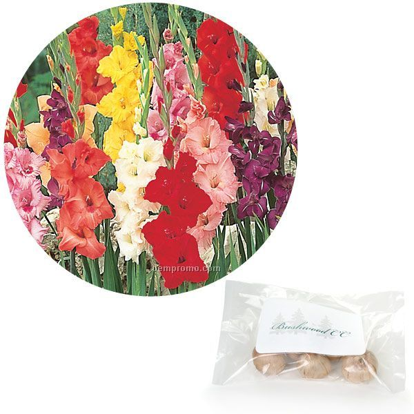 Single Jumbo Gladiolus Bulb In Poly Bag With 4-color Label